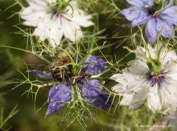 insecten in nederland