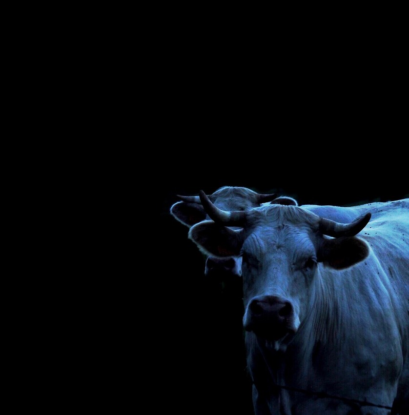 Cow in the night