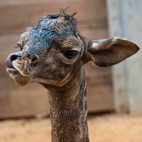 Ubrugte Baby giraf | Life as I see it | Marjon Veerkamp EK-88